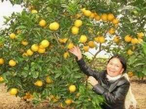 Viện cây giống trung ương, cung cấp giống cam v2 chín muộn. chuẩn giống