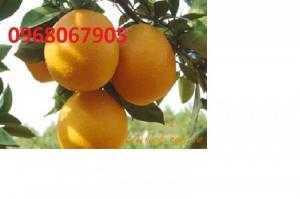 Viện cây giống trung ương, cung cấp giống cam vinh chuẩn giống, số lượng lớn