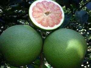 Viện cây giống trung ương, cung cấp giống bưởi da xanh miền nam, chuẩn giống,