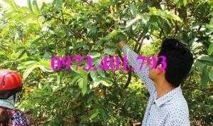 Giống cây ổi đông dư, ổi bốn mùa, ổi , cây ổi, cây ổi đông dư, cây ổi bốn mùa