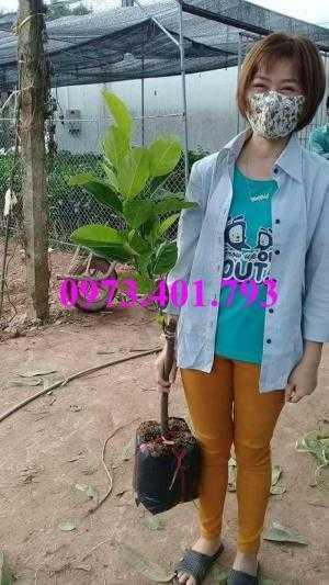 Giống cây mít thái siêu sớm cây choai, cây mít thái cay choai, mít thái
