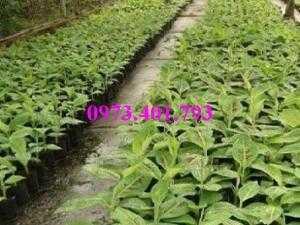 Giông cây chuối Tây Thái, cây chuối, chuối Tây Thái, cây chuối Tây Thái, chuối, kĩ thuật trồng chuối