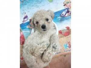 Poodle 37 ngày tuổi