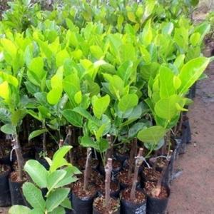 Địa chỉ chuyên cung cấp giống cây mít ruột đỏ, mít thái ruột đỏ, cây giống cho năng suất cao