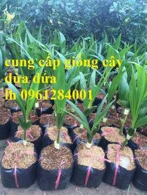 Bán giống cây dừa dứa, dừa thơm, dừa dứa thái lan, cây dừa, cây giống chất lượng cao