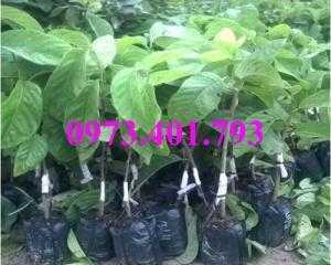 Giống cây na thái, cây na thái, na thái, cây na, kĩ thuật trồng cây na thái