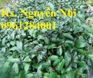 Cung cấp giống cây ba kích, ba kích tím, cây giống dược liệu,  số lượng lớn, giao hàng toàn quốc