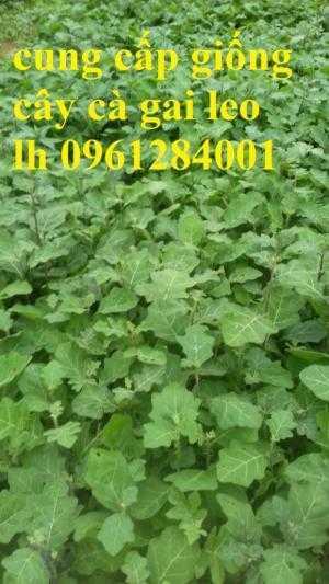 Cung cấp cây giống, hạt giống cà gai leo, cây dược liệu kinh tế, số lượng lớn, giao hàng toàn quốc