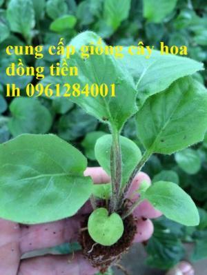 Bán hoa đồng tiền chơi Tết, địa chỉ bán giống hoa chất lượng uy tín - giao cây toàn quốc