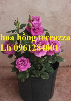 2018-08-15 16:01:31  6  Hoa hồng terrazza, hồng ngoại lùn siêu nụ, hoa liên tục, giao hàng toàn quốc 70,000