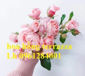 2018-08-15 16:01:31  10  Hoa hồng terrazza, hồng ngoại lùn siêu nụ, hoa liên tục, giao hàng toàn quốc 70,000