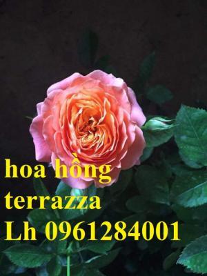 2018-08-15 16:01:31  7  Hoa hồng terrazza, hồng ngoại lùn siêu nụ, hoa liên tục, giao hàng toàn quốc 70,000