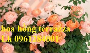 2018-08-15 16:01:31  16  Hoa hồng terrazza, hồng ngoại lùn siêu nụ, hoa liên tục, giao hàng toàn quốc 70,000