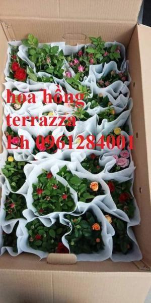 2018-08-15 16:01:31  1  Hoa hồng terrazza, hồng ngoại lùn siêu nụ, hoa liên tục, giao hàng toàn quốc 70,000