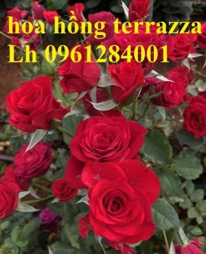 2018-08-15 16:01:31  8  Hoa hồng terrazza, hồng ngoại lùn siêu nụ, hoa liên tục, giao hàng toàn quốc 70,000