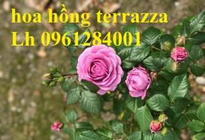 2018-08-15 16:01:31  15  Hoa hồng terrazza, hồng ngoại lùn siêu nụ, hoa liên tục, giao hàng toàn quốc 70,000