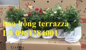 2018-08-15 16:01:31  14  Hoa hồng terrazza, hồng ngoại lùn siêu nụ, hoa liên tục, giao hàng toàn quốc 70,000