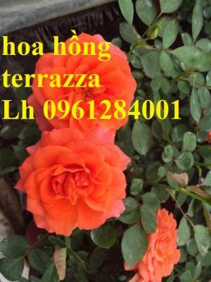 Hoa hồng terrazza, hồng ngoại lùn siêu nụ, hoa liên tục, giao hàng toàn quốc