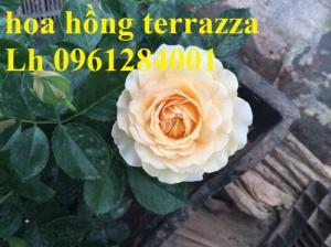2018-08-15 16:01:31  12  Hoa hồng terrazza, hồng ngoại lùn siêu nụ, hoa liên tục, giao hàng toàn quốc 70,000