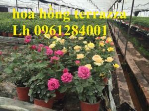 2018-08-15 16:01:31  11  Hoa hồng terrazza, hồng ngoại lùn siêu nụ, hoa liên tục, giao hàng toàn quốc 70,000
