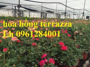 2018-08-15 16:01:31  4  Hoa hồng terrazza, hồng ngoại lùn siêu nụ, hoa liên tục, giao hàng toàn quốc 70,000