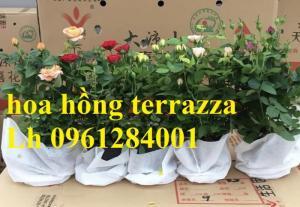 2018-08-15 16:01:31  13  Hoa hồng terrazza, hồng ngoại lùn siêu nụ, hoa liên tục, giao hàng toàn quốc 70,000