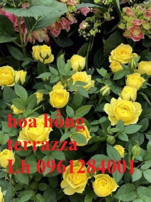 2018-08-15 16:01:31  2  Hoa hồng terrazza, hồng ngoại lùn siêu nụ, hoa liên tục, giao hàng toàn quốc 70,000