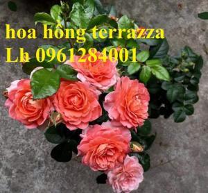 2018-08-15 16:01:31  5  Hoa hồng terrazza, hồng ngoại lùn siêu nụ, hoa liên tục, giao hàng toàn quốc 70,000