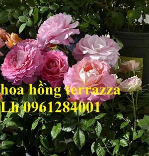 2018-08-15 16:01:31  3  Hoa hồng terrazza, hồng ngoại lùn siêu nụ, hoa liên tục, giao hàng toàn quốc 70,000