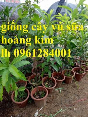 Vú sữa vàng Đài Loan, vú sữa hoàn kim, cây giống nhập khẩu chất lượng cao
