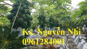 Cung cấp cây giống, hạt giống đu đủ lùn cao sản Thái Lan, đu đủ lùn F1