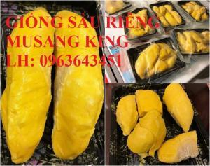 Cung cấp cây giống sầu riêng Musang King nhập khẩu Malaysia, cây giống sầu riêng cơm vàng hạt lép