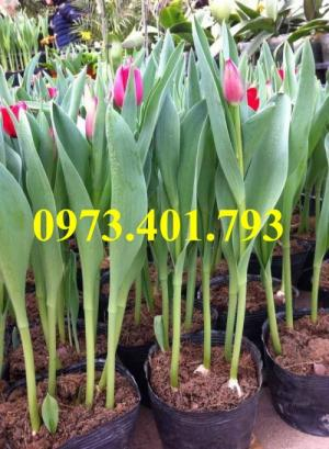 Củ hoa tulip uy tín, chất lượng