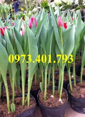 Củ hoa tulip uy tín, chất lượng