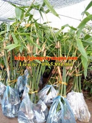 Kỹ thuật trồng và chăm sóc cây măng bát độ - Đại học Nông nghiệp 1 Hà Nội