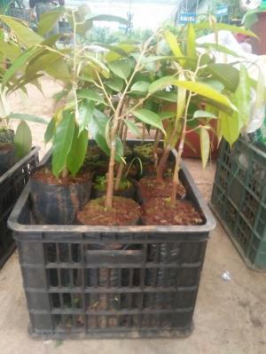 Viện cây giống trung ương, giống sầu riêng musaking chuẩn giống nhập khẩu.