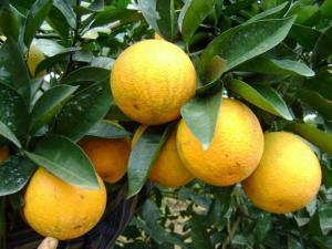 cung cấp giống cam c36, cam chín sớm chuẩn giống, chuẩn chất lượng, số lượng lớn.
