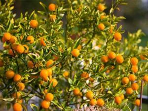 Viện cây giống trung ương: giống cây quất ngọt, chuẩn giống quất ngọt