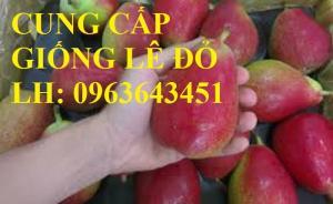 Cung cấp cây giống lê đỏ Nam Phi, cây giống lê quả đỏ, cây giống lê Nam Phi nhập khẩu chuẩn, uy tín