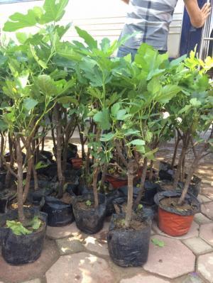 Viện cây giống trung ương, cung cấp giống cây sung mỹ, sung mỹ quả to ăn ngon ngọt