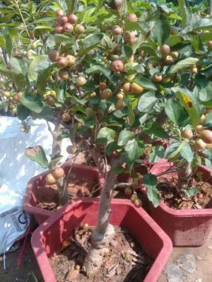 Viện cây giống trung ương, giống cây táo tây ruột đỏ, cung cấp số lượng lớn.
