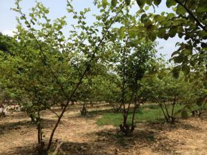 Viện cây giống trung ương, đơn vị cung cấp giống táo đài loan, chuẩn giống chất lượng
