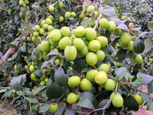 Giống táo quả to giống t5 giống táo mới nhất trên thị trường, đơn vị nào cung cấp chuẩn giống