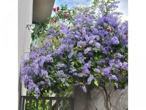 Mai xanh bonsai đẹp