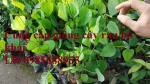 Bán giống cây rau bò khai, cây rau mang lại hiệu quả kinh tế cao