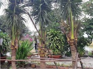 Dừa xiêm dừa cảnh quan