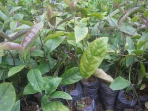 Viện cây giống trung ương, cung cấp giống ba kích tím với giá rẻ nhất, cam kết chất lượng giống.