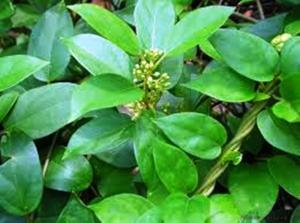 Bán giống cây dược liệu, dây thìa canh giá rẻ nhất các tỉnh phía bắc. viện cây giống trung ương.