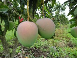 viện cây giống trung ương, cung cấp giống xoài úc chuẩn giống, cung cấp số lượng lớn khách trồng kinh tế