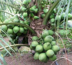 Viện cây giống trung ương, giống dừa xiêm xanh lùn, chuẩn giống, cây giống chuẩn đẹp